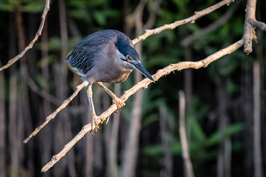 Heron on a branch