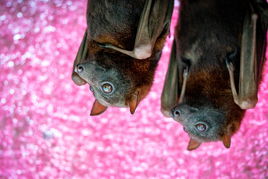 Two bats with pink background