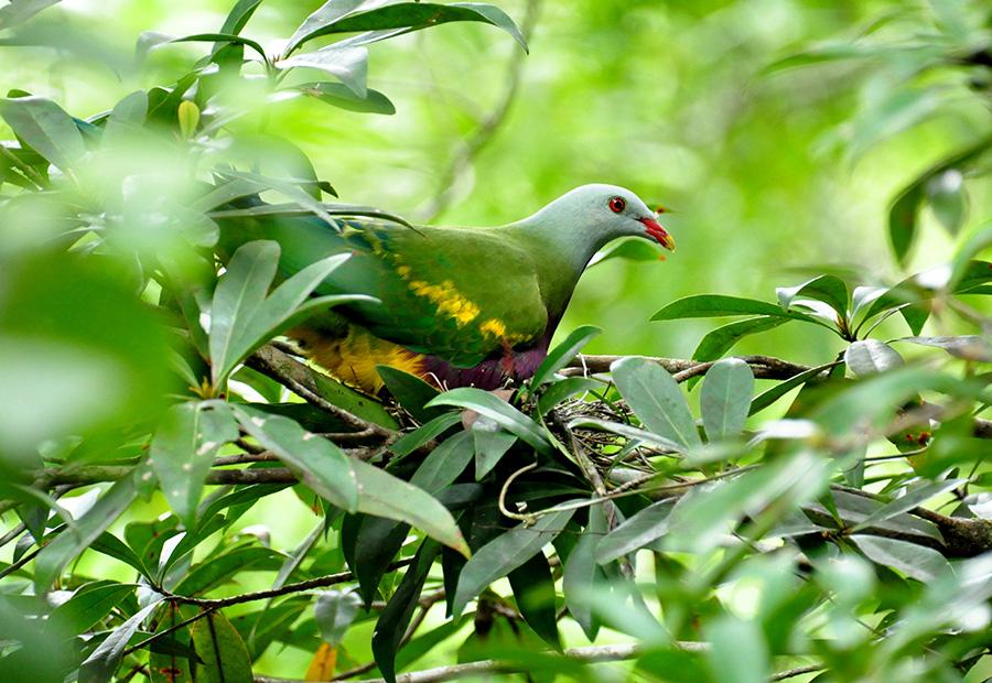 Wompoo Fruit Dove in nest