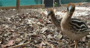 Cassowary Chicks