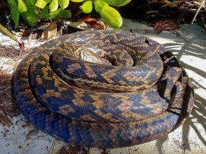 amethystine python (Simalia amethistina) - Emily Silverstone