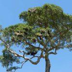 Metallic Starling Nesting Tree