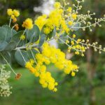 Queensland Silver Wattle, Acacia podalyriifolia by Gardenia dot net
