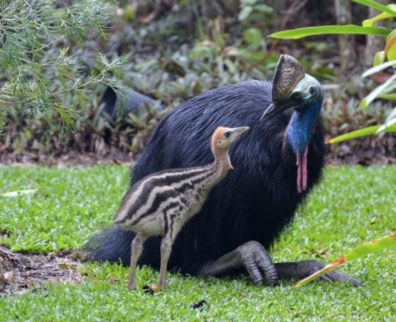 Cassowary with Chick © Robert Tidey