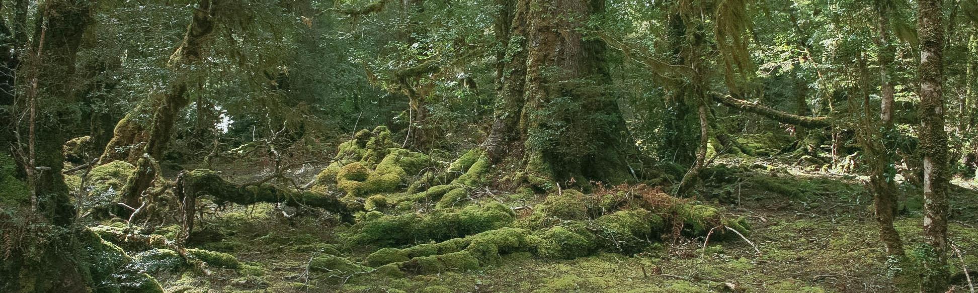Rainforest trees in the Rattler Range