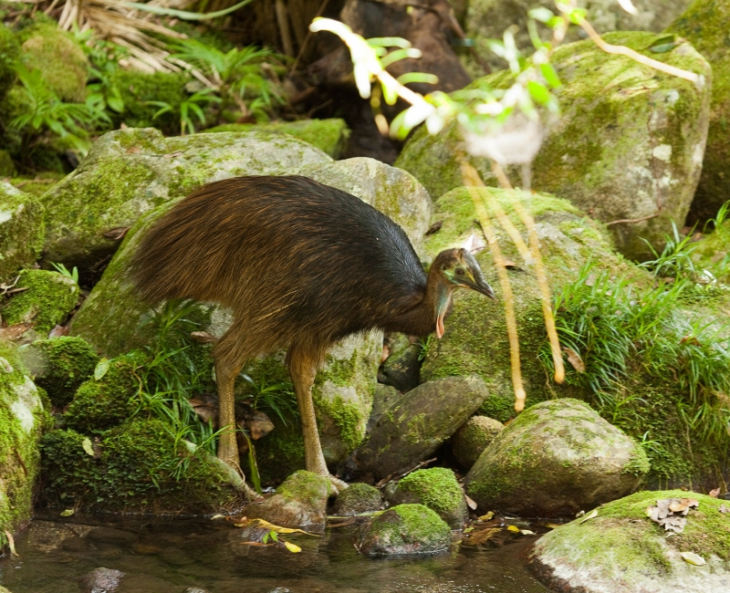 web-banner-cassowary-chick-daintree-andrew-gregory